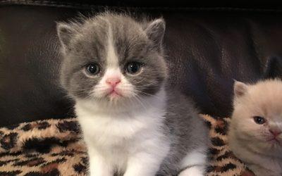 Starla – ESH Blue & White Female – 6/30/16 Litter – Kitten 3