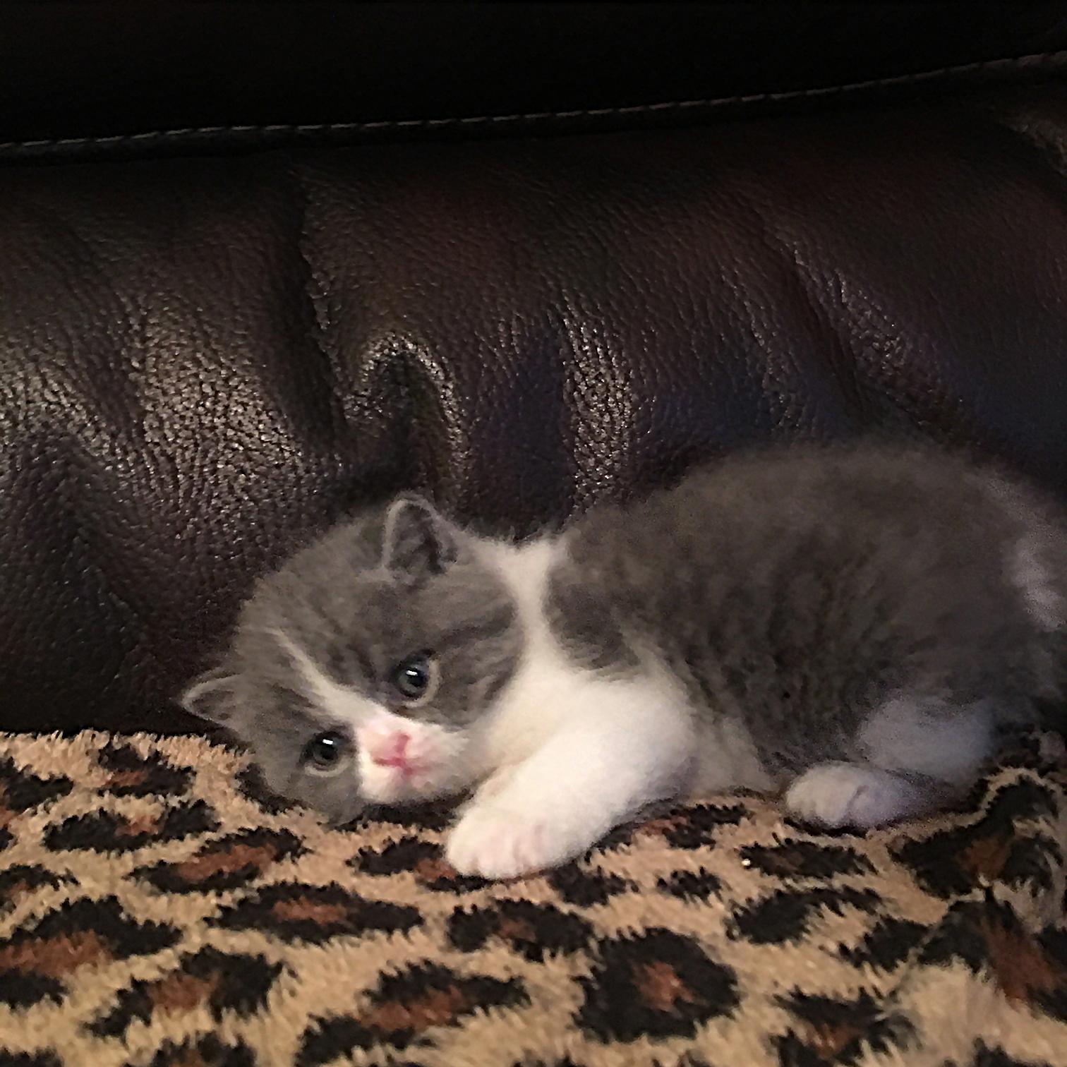 Kitten 1 6/30/16 litter