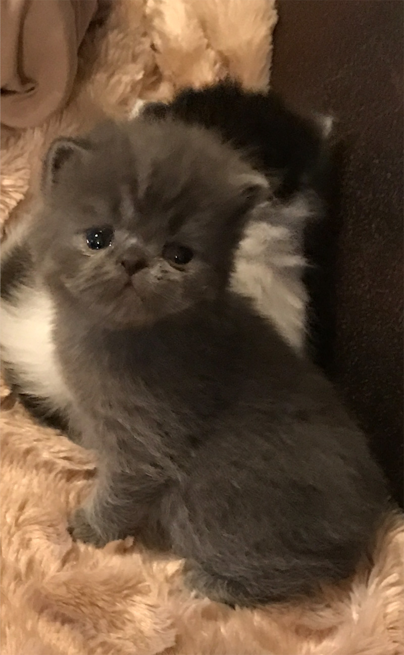 Munchkin Kitten 1 from January 22, 2017 Litter - 2/16/17