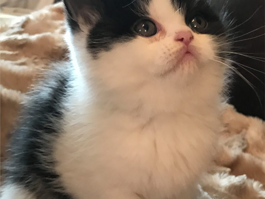 ESH Black & White Male – January 22, 2017 Litter – Kitten 5