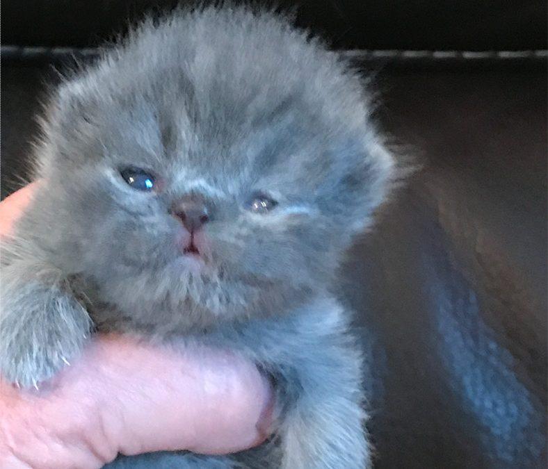 Muchkin – ESH Blue Male – 1/22/17 Litter – Kitten 1