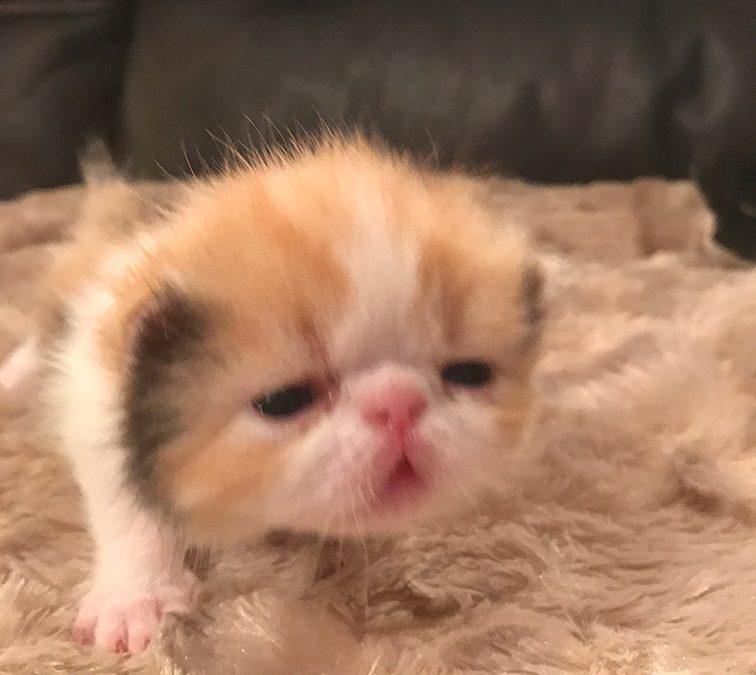 MiMi – ESH Calico Female – 1/22/17  Litter – Kitten 2