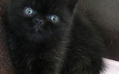 Louie – ESH Black Male – 2/25/17 Litter – Kitten 2