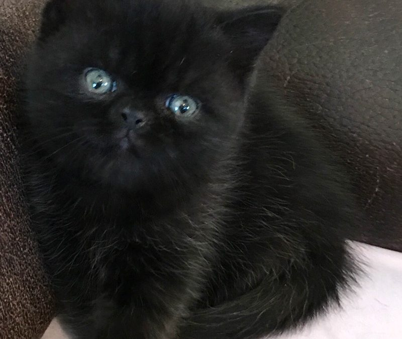 Louie – ESH Black Male – 2/25/17 Litter – Kitten 2