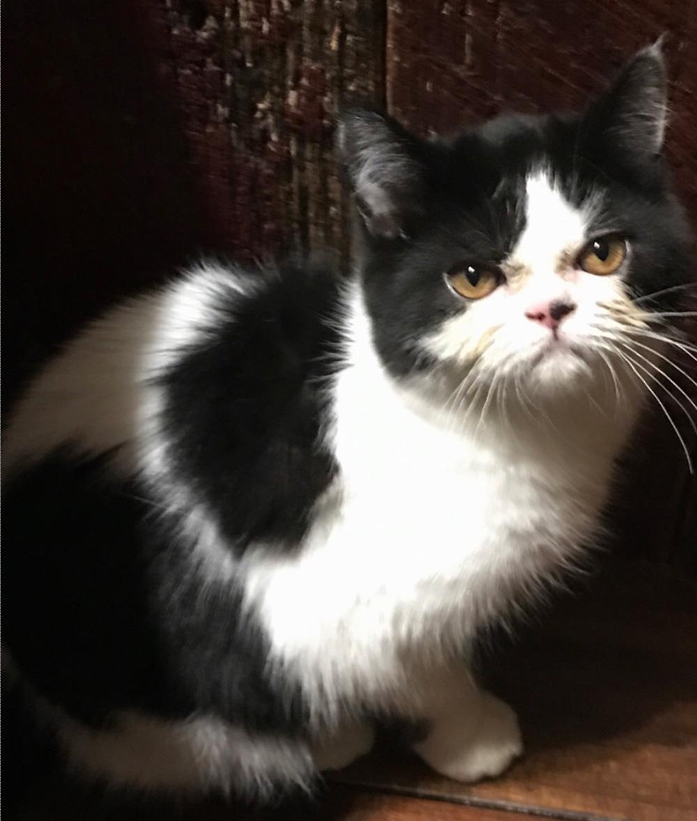 Bella Kitten 4 - Litter 1/22/17- July 2017