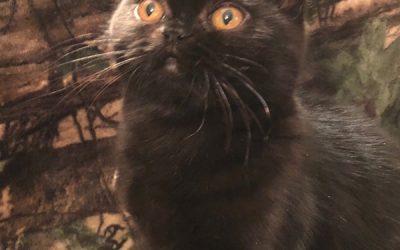 ESH Black Female – 10/2/17 Litter – Kitten 1