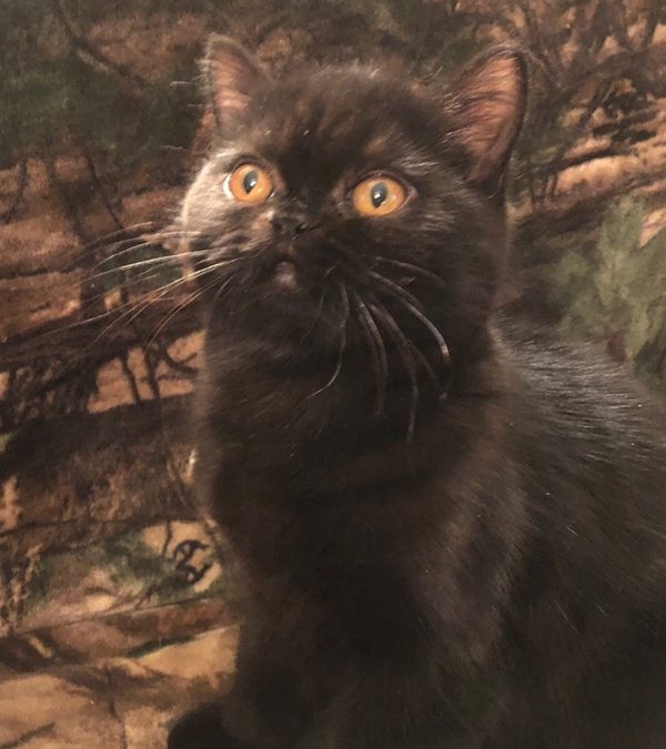 Zeka – ESH Black Female – 10/2/17 Litter – Kitten 1
