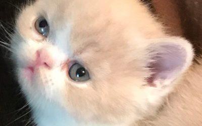 ESH Cream & White Male – 10/2/17 Litter – Kitten 3
