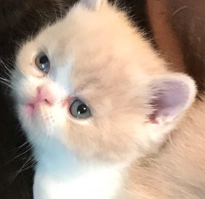 ESH Cream & White Male – 10/2/17 Litter – Kitten 3