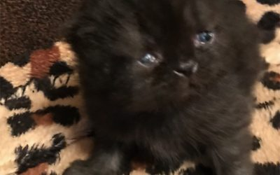 Zues – ESH Black Male – 9/14/17 Litter – Kitten 3