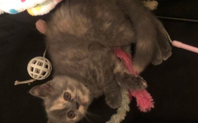 Poppy – ESH Blue-Cream Female – 6/30/18 Litter – Kitten 2