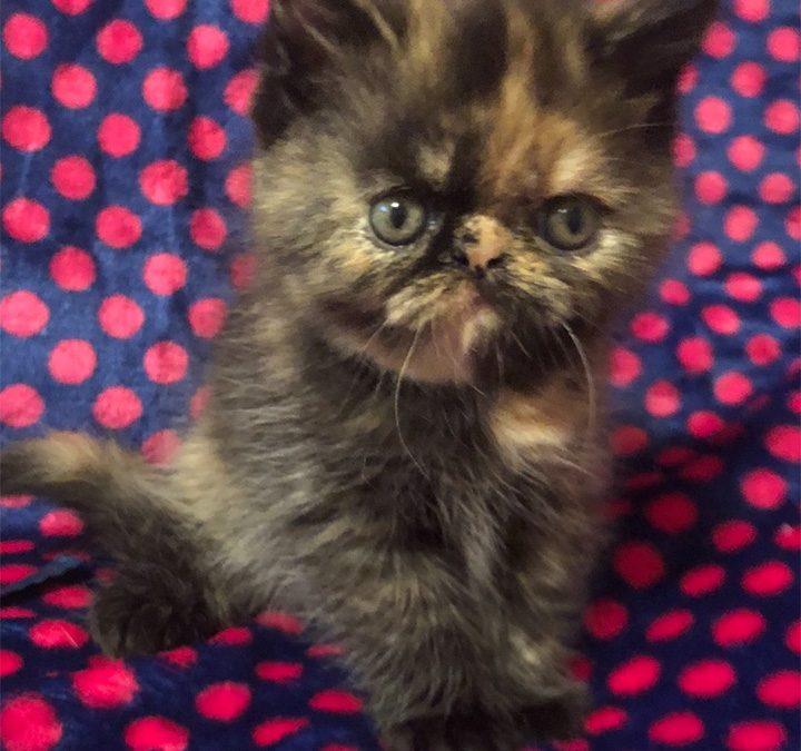 Zakee – ESH Tortie Point Female – 6/30/18 Litter – Kitten 3