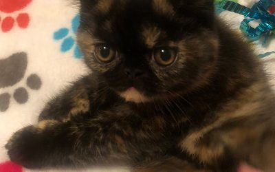 ZEVA – ESH Tortoiseshell Female – 6/30/18 Litter – Kitten 4