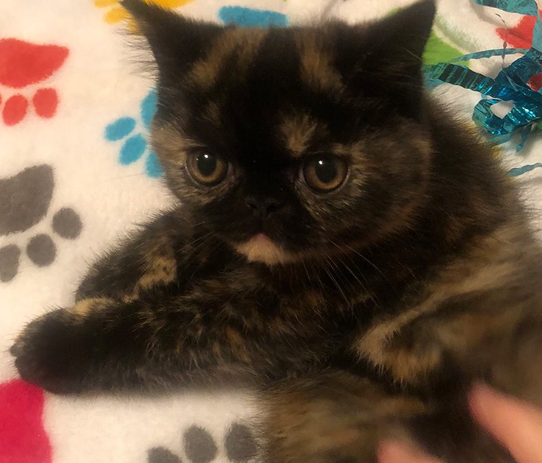 Zeva – ESH Tortie Point Female – 6/30/18 Litter – Kitten 4