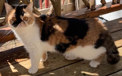 Londin – ESH Calico Female – 6/3/19 Litter – Kitten 2