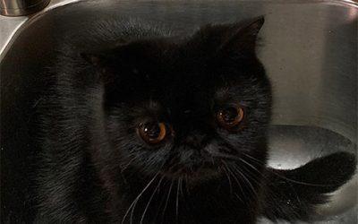Blackie – ESH Black Male – 7/18/19 Litter – Kitten 1