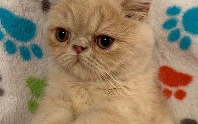 King Louie – ESH Cream Male – 7/1/19 Litter – Kitten 1