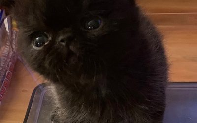 Binx – ESH Black Male – 10/2/19 Litter – Kitten 1