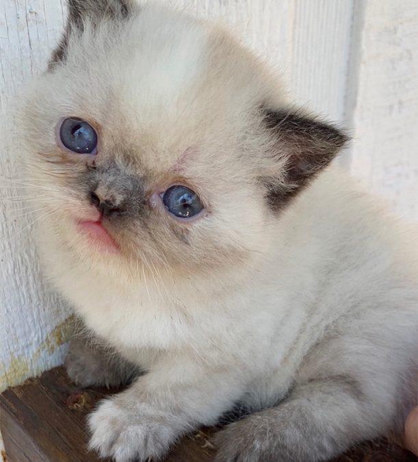 Kitten 1 – ESH  Tortie Point Female – 3/10/20 Litter – Kitten 1