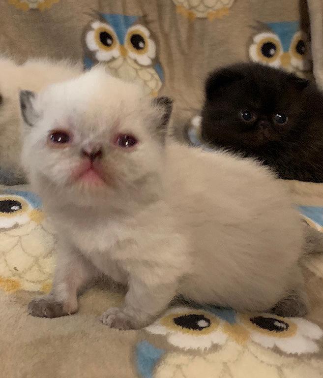 Kitten 1 3-10-20 Litter