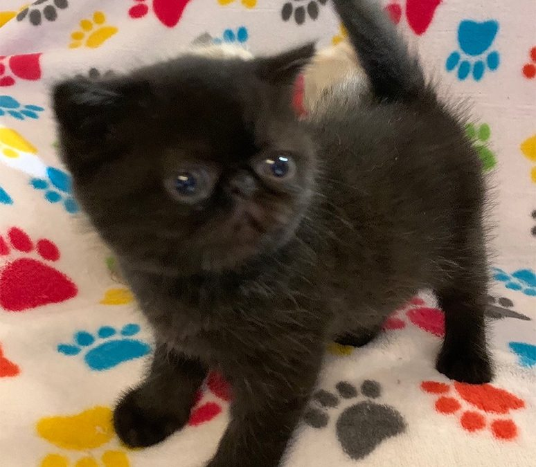 Pishy – ESH Solid Black Male – 3/10/20 Litter – Kitten 2