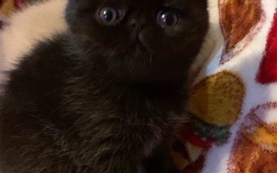 Baxter – ESH Solid Black Male – 3/26/20 Litter – Kitten 1