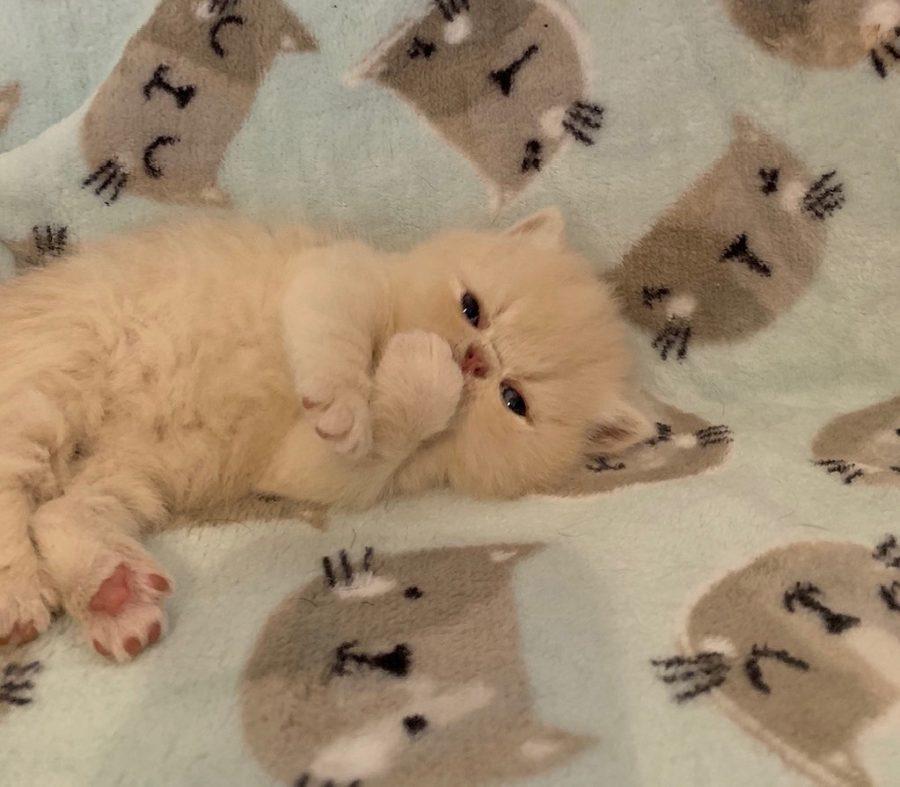 Kitten 2 3-26-20 Litter