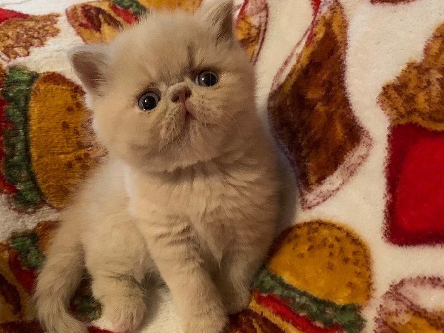 Kitten 3 – ESH Solid Cream Male – 3/26/20 Litter – Kitten 3