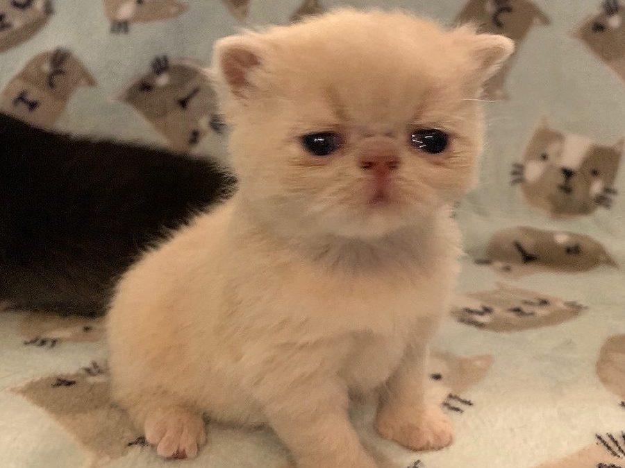 Kitten 4 – ESH Solid Cream Male – 3/26/20 Litter – Kitten 4