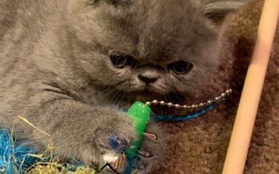 Buddha – blue – ESH Solid Blue Male – 8/8/20 Litter – Kitten 1