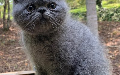 Hodge – ESH Solid Blue Male – 8/8/20 Litter – Kitten 2
