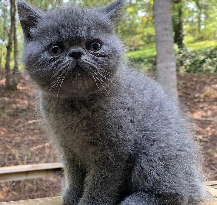 Hodge – ESH Solid Blue Male – 8/8/20 Litter – Kitten 2