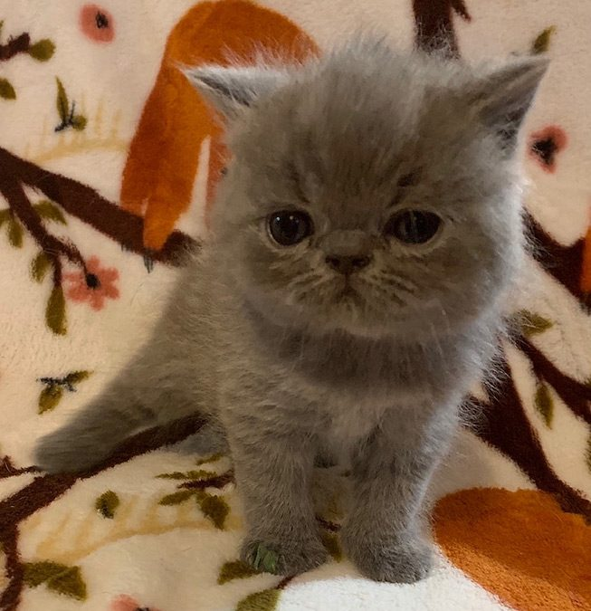 Podge – ESH Solid Blue Male – 8/8/20 Litter – Kitten 3
