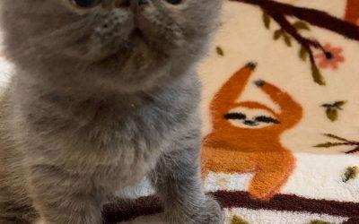 Sully – ESH Solid Blue Male – 8/8/20 Litter – Kitten 4