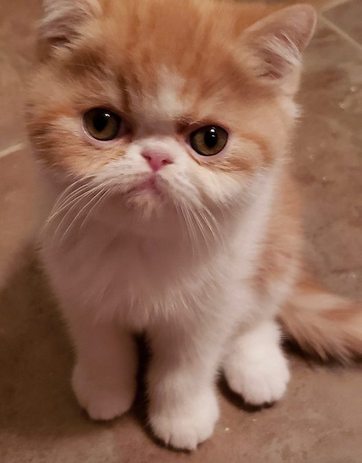 Gizmo – ESH Cream and White Male – 2/2/19 Litter – Kitten 1