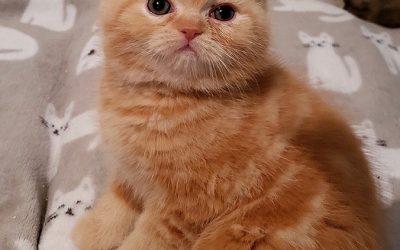 ESH Red Male – 2/2/19 Litter – Kitten 2