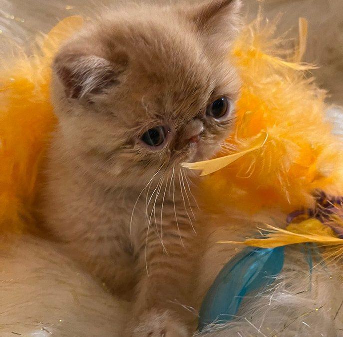Sunny – ESH Red Tabby Male – 12/20/20 Litter – Kitten 2
