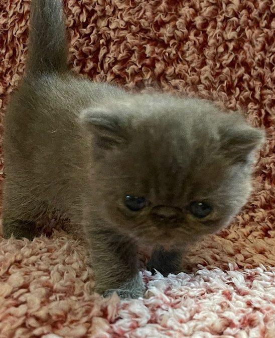Kitten 1 – ESH Blue Tabby Male – 1/8/21 Litter