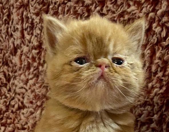 Kitten 2 – ESH Red Tabby  Female – 1/8/21 Litter