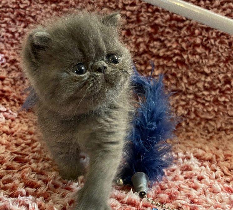 Kitten 1 – ESH Solid Blue Male – 1/8/21 Litter