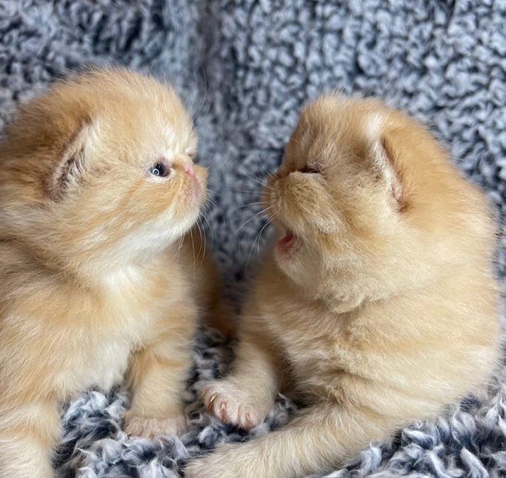 Kitten 2 – ESH Red Tabby Male – 12/20/20 Litter – Kitten 2