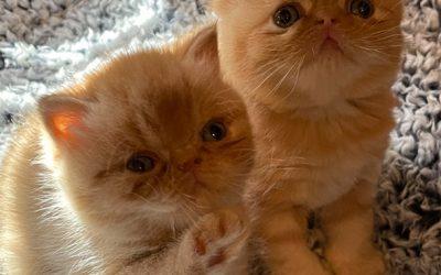 Kitten 1 – ESH Red Tabby Female – 12/20/20 Litter – Kitten 1