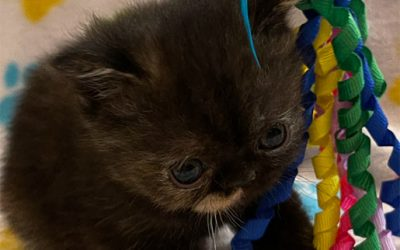 Kitten 5 – ESH Tortie Female – 3/3/21 Litter – Kitten 5