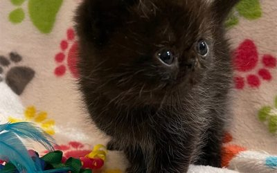 Kitten 1 (yellow) – ESH Black Male – 3/3/21 Litter – Kitten 1