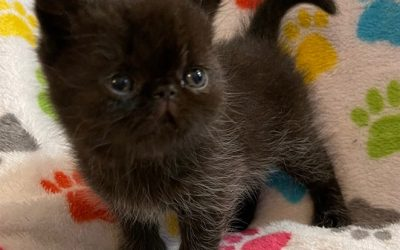 Kitten 2 (black) – ESH Black Male – 3/3/21 Litter – Kitten 2