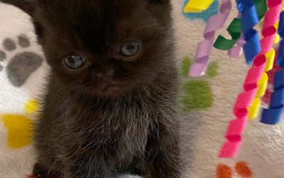 Kitten 4 (blue) – ESH Black Male – 3/3/21 Litter – Kitten 4