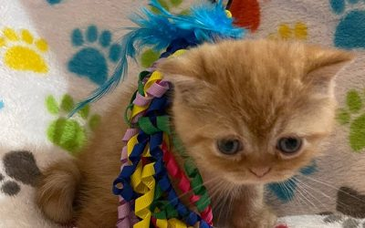 Kitten 1 – ESH Red Tabby Male – 3/6/21 Litter – Kitten 1